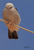 A Mississippi Kite taken May 15, 2011 near Portales, NM.
