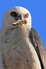 A Mississippi Kite taken July 26, 2010 near Portales, NM.