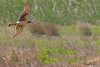 A Northern Harrier taken Apr 23, 2010 near Fortuna, CA.