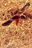A Northern Harrier taken Feb. 23, 2012 near Elfreida, AZ.