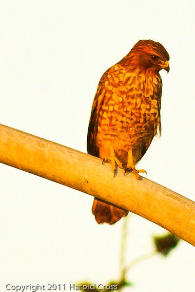 A Red-shouldered Hawk taken Sep. 29, 2011 near Monterey, CA.