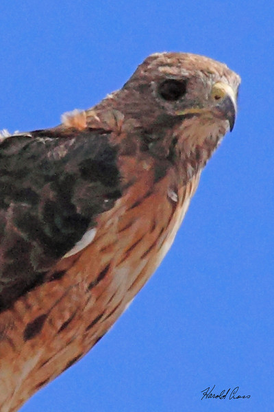 A Red-tailed Hawk taken Aug 23, 2010 near Fruita, CO.