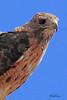 A Red-tailed Hawk taken Aug 23, 2010 near Fruita, CO.