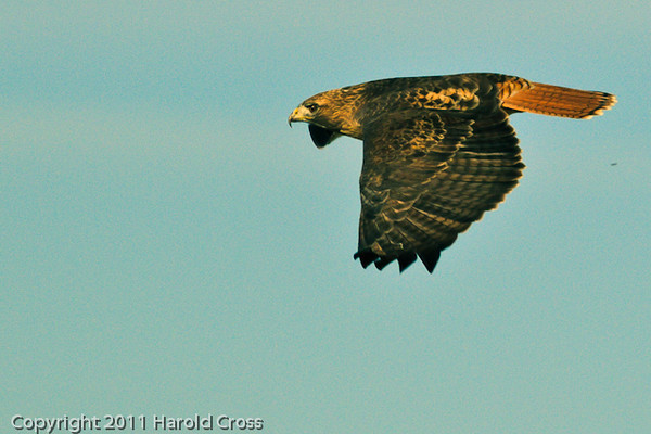A Red-tailed Hawk taken Nov. 3, 2011 near Fruita, CO.