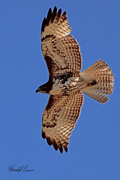 A Red-tailed Hawk taken May 4, 2011 in Grand Junction, CO.