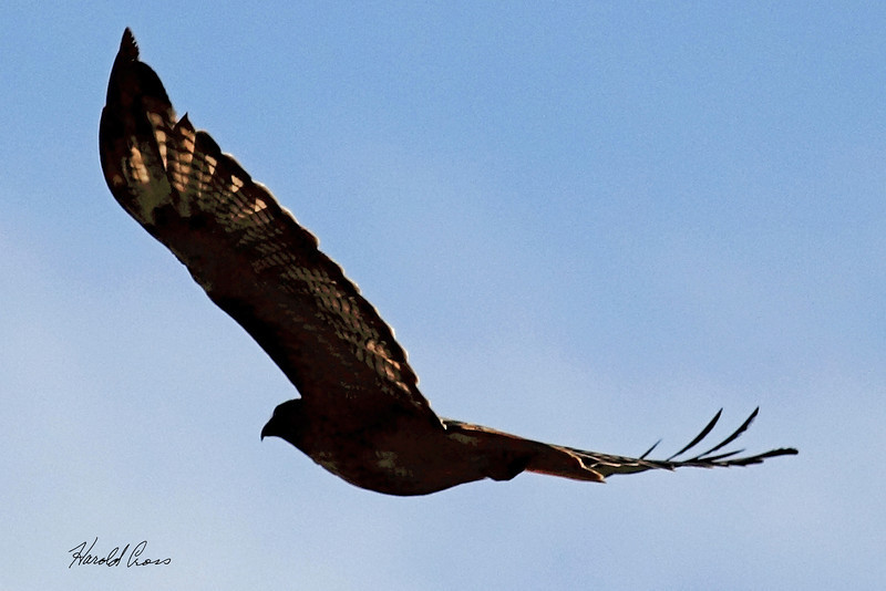 A Red-tailed Hawk taken Sep 23, 2010 near Bozeman, MT.