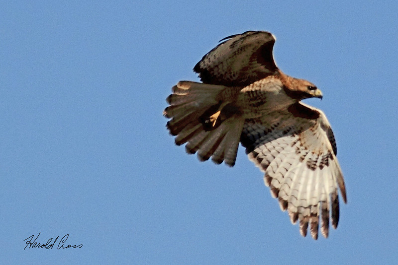 A Red-tailed Hawk taken May 13, 2011 near Denver, CO.