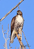 A Red-tailed Hawk taken Jan 10, 2010 in Grand Junction, CO.