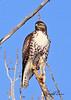 A Red-tailed Hawk taken Jan 10, 2010 in Grand Junction, CO.