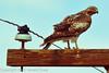 A Red-tailed Hawk taken April 29, 2012 near Portales, NM.