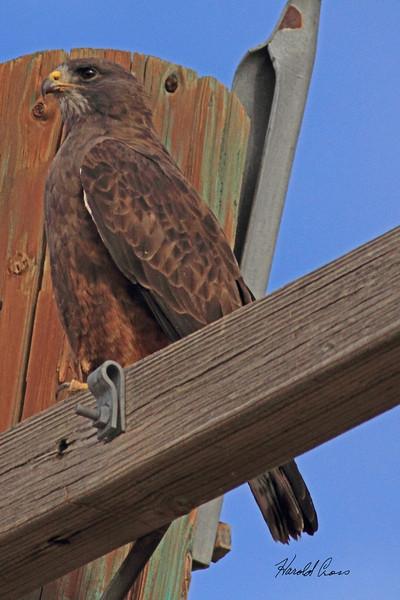 A Red-tailed Hawk taken Sep 21, 2010 near Pocatella, ID.