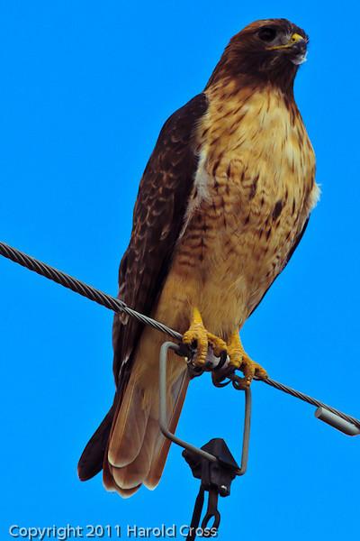 A Red-tailed Hawk taken Sep. 15, 2011 near Fruita, CO.