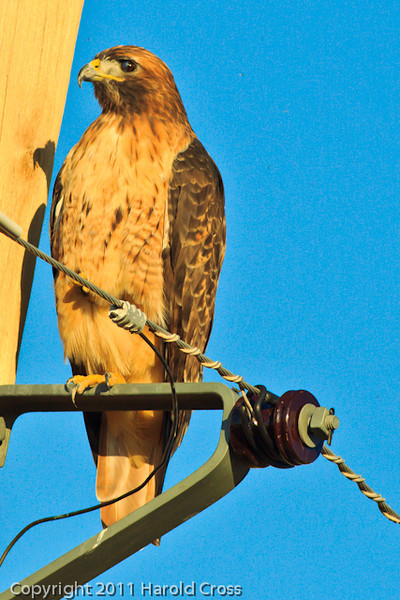 A Red-tailed Hawk taken Sep. 8, 2011 near Fruita, CO.