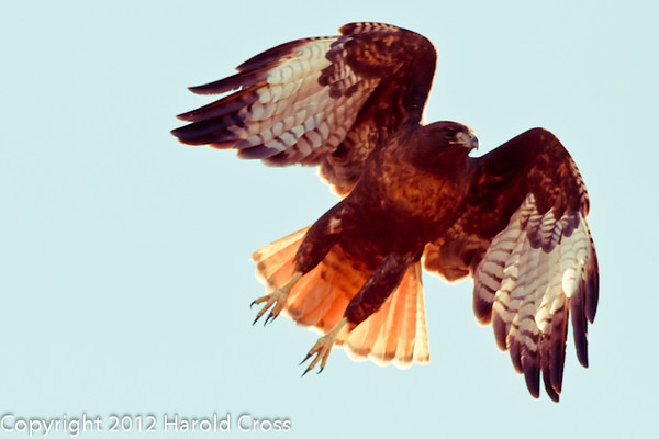 A Red-tailed Hawk taken Feb. 9, 2012 in Madera Canyon, AZ.