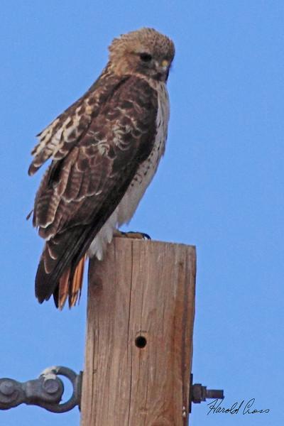 A Red-tailed Hawk taken Apr 6, 2010 near Fruita, CO.
