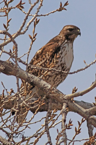 A Red-tailed Hawk taken April 11, 2011 in Grand Junction, CO.