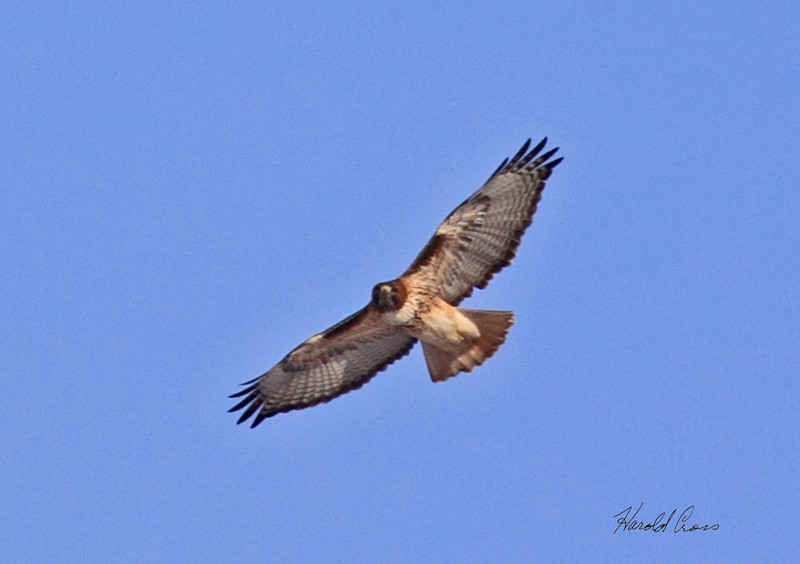 A Red-tailed Hawk taken in Grand Junction, CO in Dec 2009.