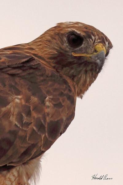 A Red-tailed Hawk taken Aug 21, 2010 near Fruita, CO.
