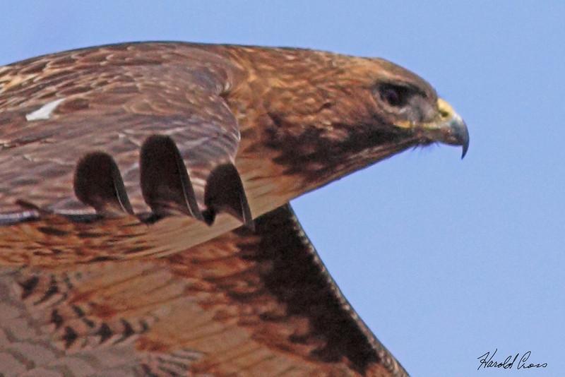 A Red-tailed Hawk taken Mar 16, 2010 near Delta, CO.