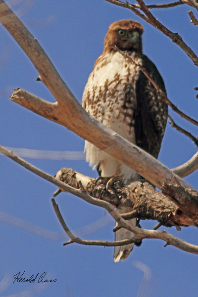 A Red-tailed Hawk taken Apr. 4, 2011 in Grand Junction, CO.