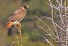A Red-tailed Hawk taken May 25, 2010 near Bozeman, MT.