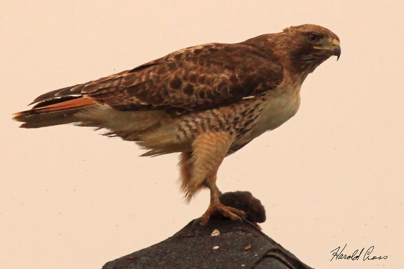 A Red-tailed Hawktaken Apr 25, 2010  near Fortuna, CA.