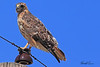 A Red-tailed Hawk taken Sep 9, 2010 near Fruita, CO.