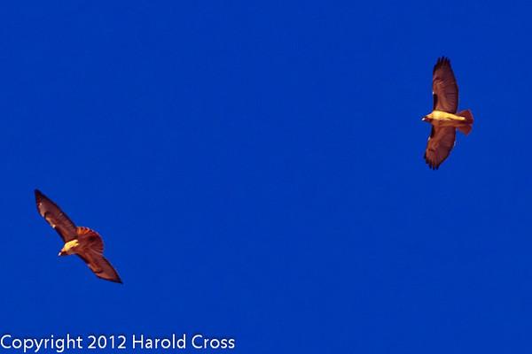 Red-tailed Hawks taken Feb. 15, 2012 in Tucson, AZ.