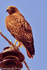 A Red-tailed Hawk taken Feb. 6, 2012 in  Madera Canyon, AZ.
