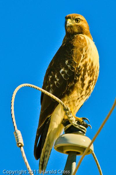 A Red-tailed Hawk taken Oct. 23, 2011 near Eckert, CO.