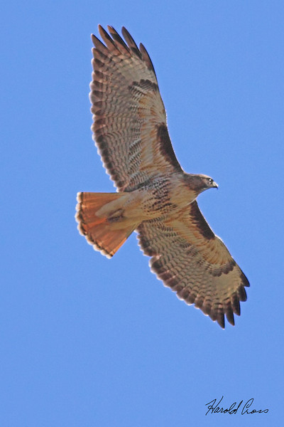 A Red-tailed Hawk taken Apr 22, 2010 near Bridgeville, CA.
