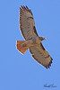 A Red-tailed Hawk taken Apr 22, 2010 near Bridgeville, CA.