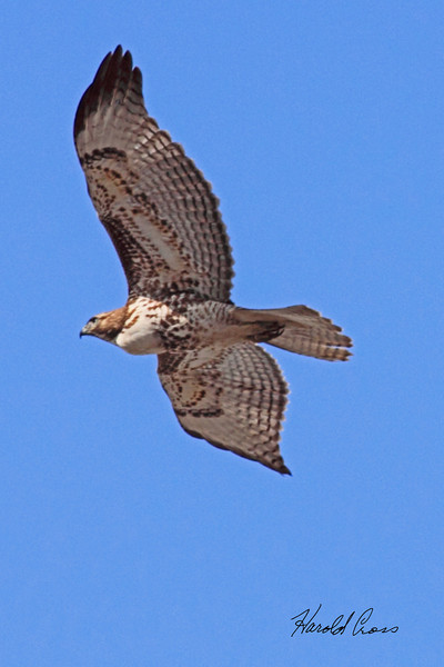 A Red-tailed Hawk taken in Grand Junction, CO on 2 Mar 2010.