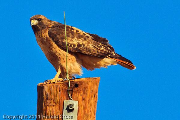 A Red-tailed Hawk taken Oct. 28, 2011 near Santa Rosa, NM.