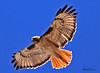 A Red-tailed Hawk taken Feb 12, 2010 in Apache Junction, AZ.