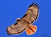 A Red-tailed Hawk taken Feb 12, 2010 in Apache Junction, AZ.