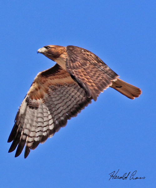 A Red-tailed hawk taken in Apache Junction, AZ on Feb 12, 2010.