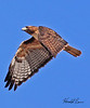 A Red-tailed hawk taken in Apache Junction, AZ on Feb 12, 2010.