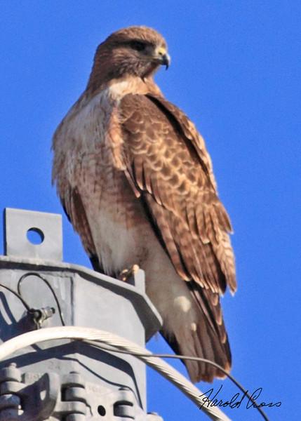 A Red-tailed Hawk taken Feb 8, 2010 in Gilbert, AZ.