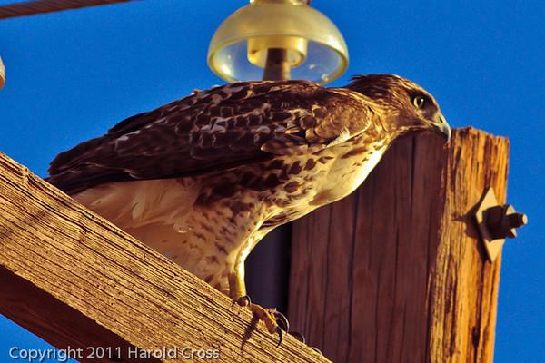 A Red-tailed Hawk taken Oct. 31, 2011 near Muleshoe, TX.