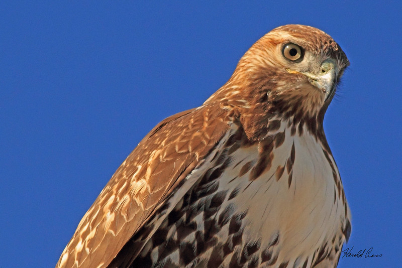 A Red-tailed Hawk taken Nov. 2, 2010 near Fruita, CO.