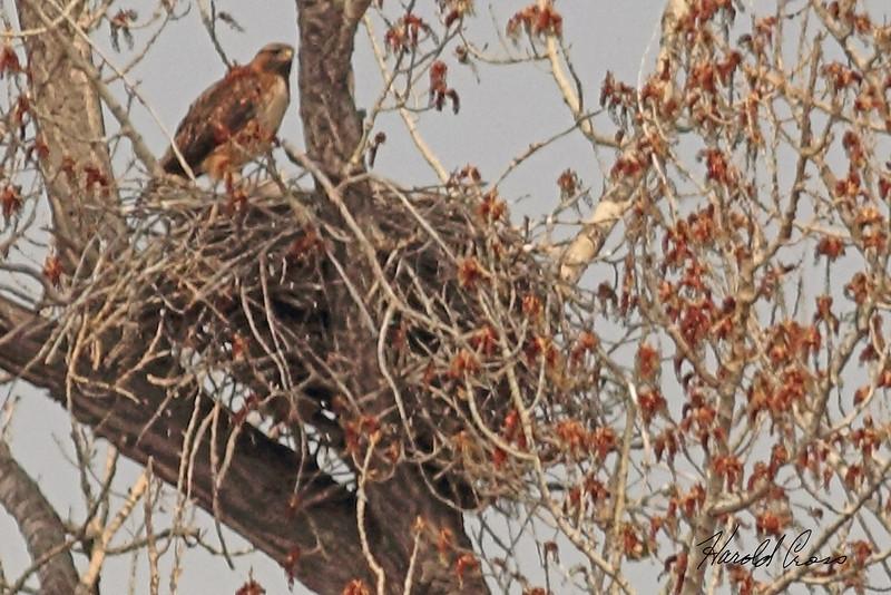 A Red-tailed Hawk taken May 3, 2011 near Fruita, CO.