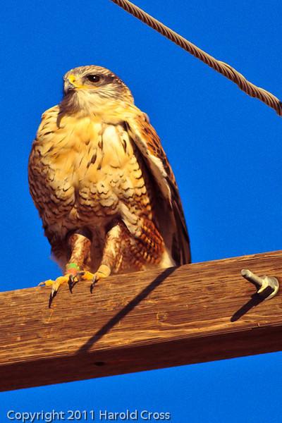 A Rough-legged Hawk taken Oct. 29, 2011 near Floyd, NM.