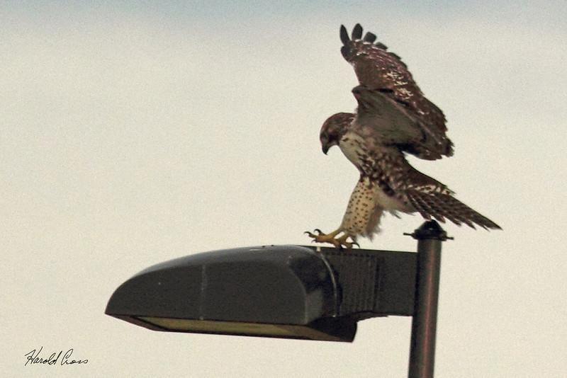 A Rough-legged Hawk taken Sep. 25, 2010 near Bozeman, MT.