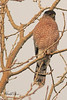 A Sharp-shinned Hawk taken Dec. 3, 2010 in Fruita, CO.