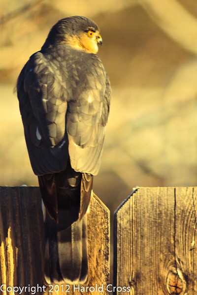A Sharp-shinned Hawk taken Jan. 9, 2012 in Fruita, CO.