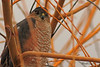A Sharp-shinned Hawk taken Dec. 1, 2010 in Fruita, CO.