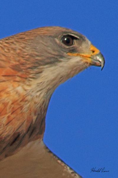 A Swainson's Hawk taken Oct 4, 2010 near Fort Sumner, NM.