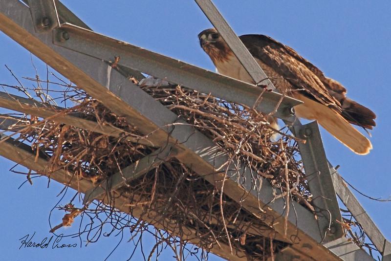 A Swainson's Hawk taken May 15, 2011 near Portales, NM.