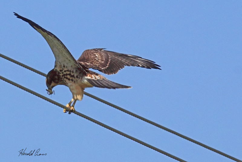 A Swainson's Hawk taken July 25, 2010 near Portales, NM.